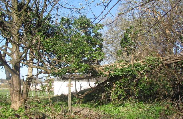 Dangerous Fallen Tree